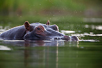 Portrait of a hippopotamus in the Khwai River