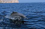 Peninsule du Musandam vers le detroit d'Ormuz. Dauphin à bosse de l'Indo-Pacifique possedant une curieuse bosse dorsale dans e fjord Sham profond de 17 km est domine par des falaises de plus de 1000 m de haut. Sultanat d'Oman. Moyen Orient.
