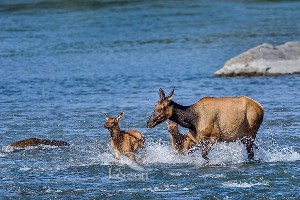 Roosevelt Elk (Cervus canadensis roosevelti) cow and calves, sometimes called Olympic Elk, fording river.  Olympic National Park, WA.  June.