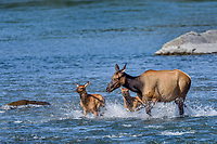 Roosevelt Elk (Cervus canadensis roosevelti) cow and calves, sometimes called Olympic Elk, fording river.  Olympic National Park, WA.  June.