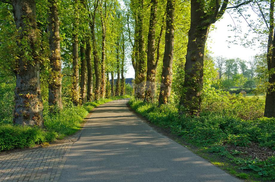 Laan van esdoorns, Haanwijk, Noord-Brabant