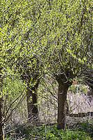 Kopfweiden, Kopfweide, Kopf-Weiden, Kopfbaum, Kopfbäume, Weide, Weiden, Salix spec., Sallow, Willow, Pollard Willow, Willows, Pollard Willows, Pollarded willows, Pollarded trees, Pollarded tree