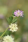 Reversed Clover - Trifolium resupinatum