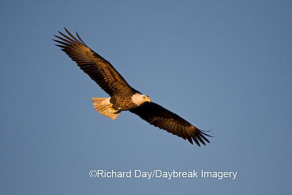 00807-036.14 Bald Eagle (Haliaeetus leucocephalus) in flight over Mississippi River, Alton, IL