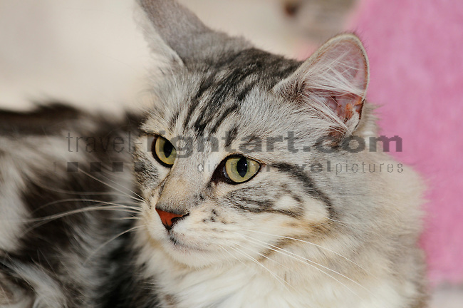 ©Paul Trummer, Mauren / FL, www.travel-lightart.com, www.digital-photos.eu, animal, animalia, animals, cat, catkins, cats, domestic cat, domestic cats, felis catus, living being, mammal, mammals, pet cat, pet cats, predator, predators, vertebrate, vertebrates, warm blooded animals, warm blooded-animal, Fauna, Felis, Fissipedia, Hauskatze, Hauskatzen, Kater, Landraubtier, Landraubtiere, Lebewesen, Mammalia, Rassekatze, Säuger, Säugetier, Säugetiere, Tierbild, Tierbilder, Vertebrata, Warmblüter, Wirbeltier, Wirbeltiere, Haustier, Haustiere, Domestic Animals, Norwegische Waldkatze, Norwegian Forest Cat