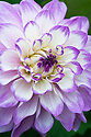 Dahlia 'Blue Wish', mid August.