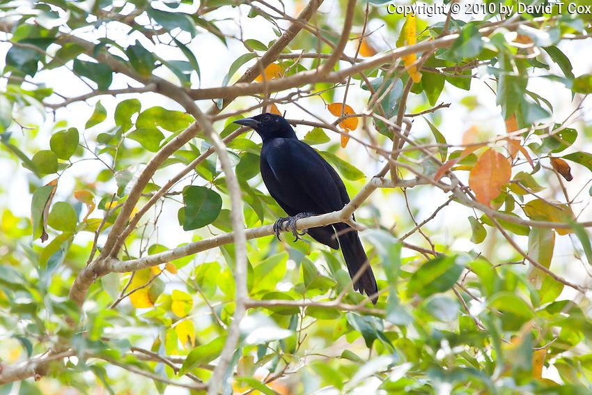 Melodious Blackbird, El Remate, Peten, Guatemala