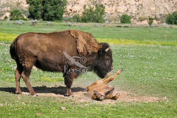 American Bison (Bison bison) cow and calf.  Calf is rolling in dust/dirt bath or wallow.  Western U.S., summer.