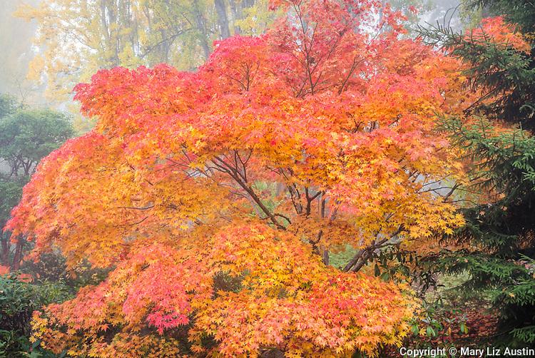 Kubota Garden, Seattle, WA: Japanese maple in autumn splendor