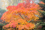 Kubota Garden, Seattle, WA: Japanese maple in autumn splendor