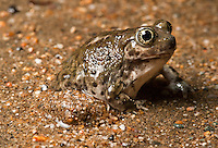 Western Spadefoot - Spea hammondii - Emerging to breed during heavy rains.