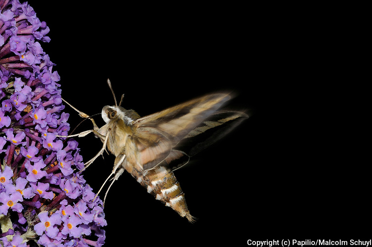 Bedstraw Hawkmoth (Hyles gallii) in flight, at night, feeding on buddleia flowers, tongue extended, Oxfordshire, UK.