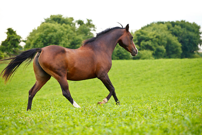 Bay Arabian horse with white stocking running in green pasture