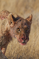 Etosha Lion cub with dirty and bood-stained face.