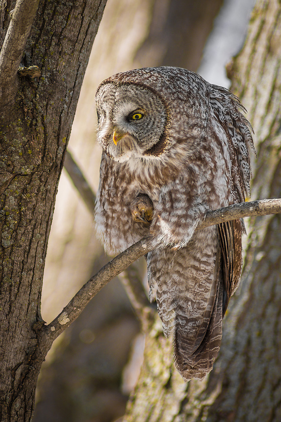 "A Great Gray Owl -- also known as the ""Phantom of the North"" and the ""Great Gray Ghost"""