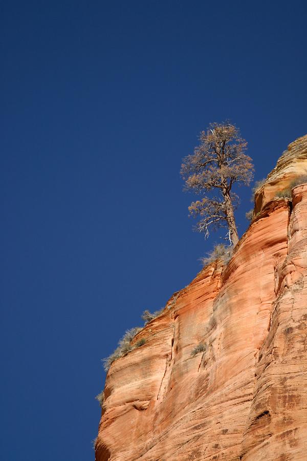 Tree on canyon rim against blue sky, Zion National Park, Washington County, UT