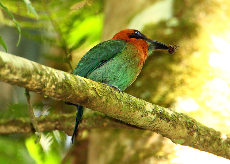 Broad-billed motmot eating paraponera (bullet ant)