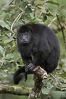 .Guatemalan or Black Howler Monkey (Alouatta pigra), adult in tree, Belize