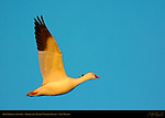 Ross's Goose in Flight at Sunrise, Bosque del Apache Wildlife Refuge, New Mexico