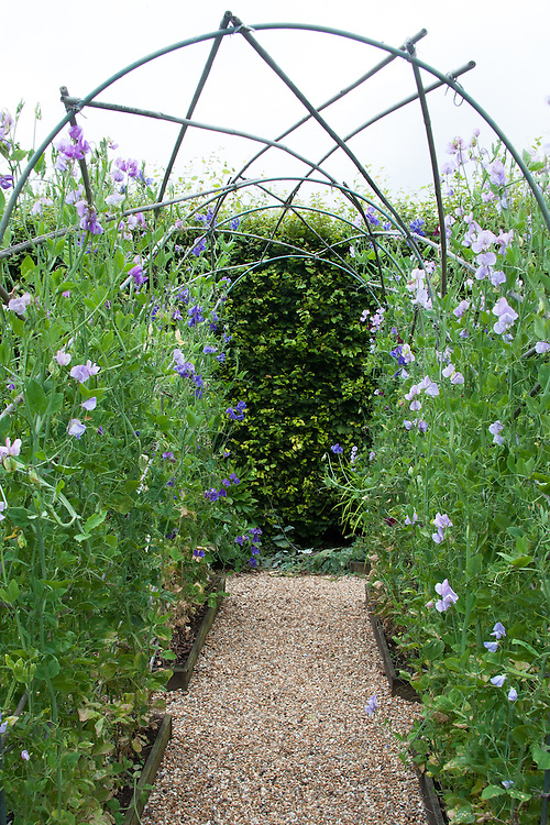 A sweet pea arch in the Potager at Clinton Lodge Garden, Fletching, East Sussex, early August.