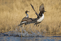 Northern Pintail (Anas acuta), males taking off, Bosque del Apache National Wildlife Refuge , New Mexico, USA,
