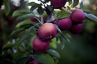 Apples hang from tree branches in an orchard near West Richland, Washington, USA.  The apples are likely red delicious or gala apples.