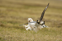 A Snowy Owl, Bubo scandiacus, A Snowy Owl, Bubo scandiacus, is attacked by a Pomerine Jaeger and falls to the ground, after slashing with her talons.