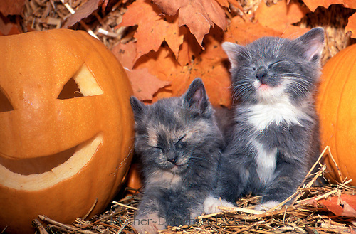 Two grey kittens asleep by jack-o-lantern, Missouri