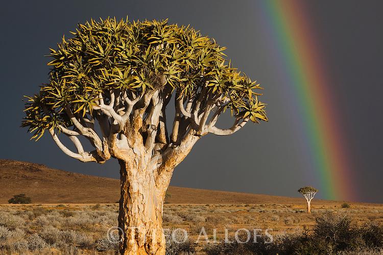 Namibia, Namib Desert, quiver trees (Aloe dichotoma) under dark sky with rainbow
