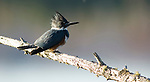 Belted kingfisher, Ceryle alcyon, Canada, perched on branch over water