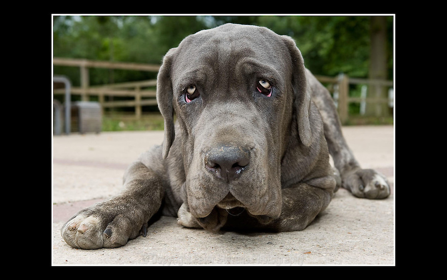 Neapolitan Mastiff - RSPCA (Flint House) Enfield - 25th June 2008 -   'Frank' is Six months old
