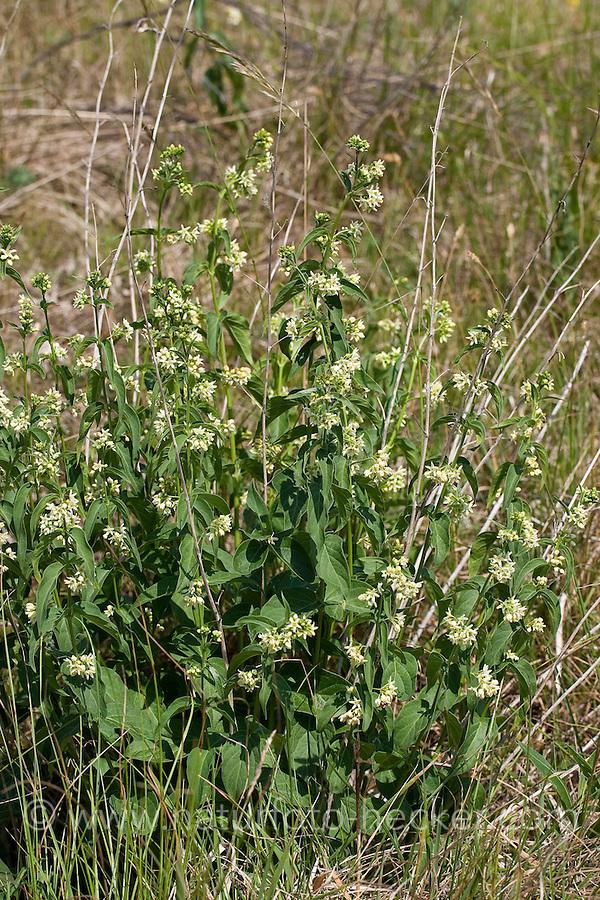 Weiße Schwalbenwurz, Weisse Schwalbenwurz, Schwalben-Wurz, Vincetoxicum hirundinaria, Cynanchum vincetoxicum, White Swallowwort