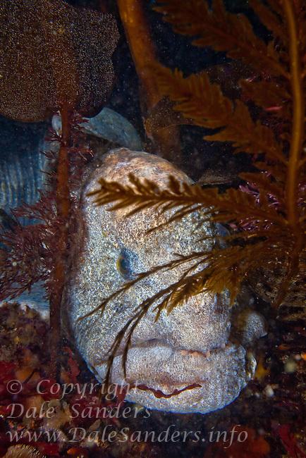 Male Wolf-Eel ( Anarrhichthys ocellatus ) underwater off the islands of Haida Gwaii, British Columbia, Canada.