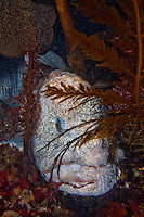 Male Wolf-Eel ( Anarrhichthys ocellatus ) underwater off the islands of Haida Gwaii, British Columbia, Canada.