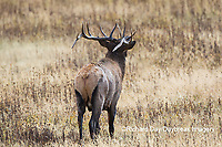 01980-03010 Elk (Cervus elaphaus) bull male, Yellowstone National Park, WY