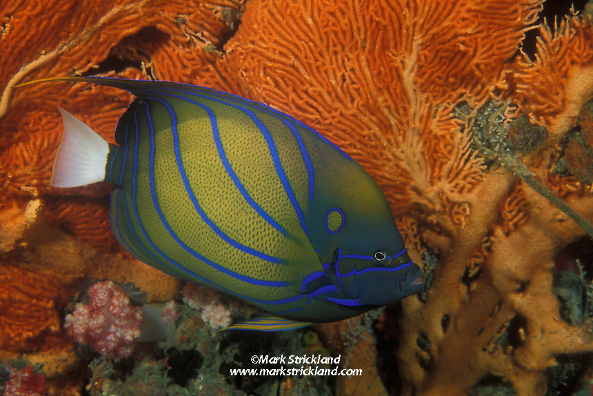 A Blue-ring Angelfish, Pomacanthus annularis, glides past a fan coral.  This species is often quite curious and approachable.  Richelieu Rock, Thailand, Andaman Sea, Indian Ocean