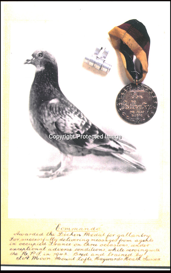 BNPS.co.uk (01202 558833).Pic: StewartWardrope/BNPS..***Please use full byline***..Dickin medal winner 'Commando' - Returned 3 times from occupied Europe - twice under enemy fire...Valuable bravery medals awarded to a flock of wartime homing pigeons have come to light to reveal the ingenious ways the British went about spying on the enemy...The birds were strapped in mini-parachutes and placed in small crates that were dropped behind enemy lines in order for the French Resistance to use...A corkscrew fan on the wooden crate unwound in the wind leading to the door to open.automatically in mid-air, allowing the pigeon to drop to the ground...The French attached coded messages about German military movements to the birds which flew across the English Channel with the precious intelligence...But one chilling note that has emerged after 70 years was written in German and informed the British the French recipient had been shot for spying having been found with a pigeon...Some 32 racing pigeons were awarded the prestigious Dickin Medal - the animal version of the Victoria Cross - for their acts of heroism in World War Two...The Royal Pigeon Racing Association owns five of them. Its general manager, Stewart Wardrope, took them along to the BBC's Antiques Roadshow to show them off...He also revealed the stories behind their award as well some of the other madcap inventions made by British boffins and used to gather intelligence using the birds...These included a clockwork camera strapped to the belly of a pigeon that automatically took reconaissance snaps of Nazi-occupied Europe before returning home...Of the five medals due to be featured on this Sunday's Antiques Roadshow, two were awarded to pigeons that delivered important intelligence from Europe six times between them...Another, named 'Beachcomber', brought back the first news of the disastrous landings at Dieppe in September 1942.