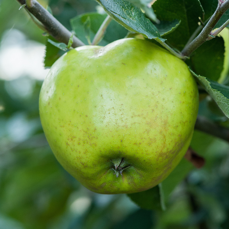 Apple 'Bossom', late September. An English dessert apple dating back to the early 19th century and probably raised at Petworth House in Sussex.