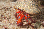 Triton Bay, West Papua, Indonesia; a White-spotted Hermit Crab (Dardanus megistos) walking across the sandy bottom