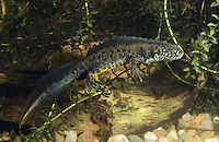 Kammmolch, Kammolch, Kamm-Molch, Männchen, Molch, Molche, Triturus cristatus, warty newt, European crested newt