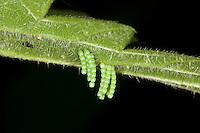 Landkärtchen, Land-Kärtchen, Eiablage auf der Unterseite eines Brennnesselblattes, Eier, Ei, Eiturm, Araschnia levana, map butterfly