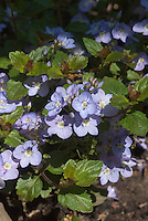 Blue flowers of spring flowering creeping speedwell, Veronica peduncularis