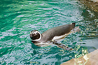 Magellanic Penguin, ( c ), Spheniscus magellanicus