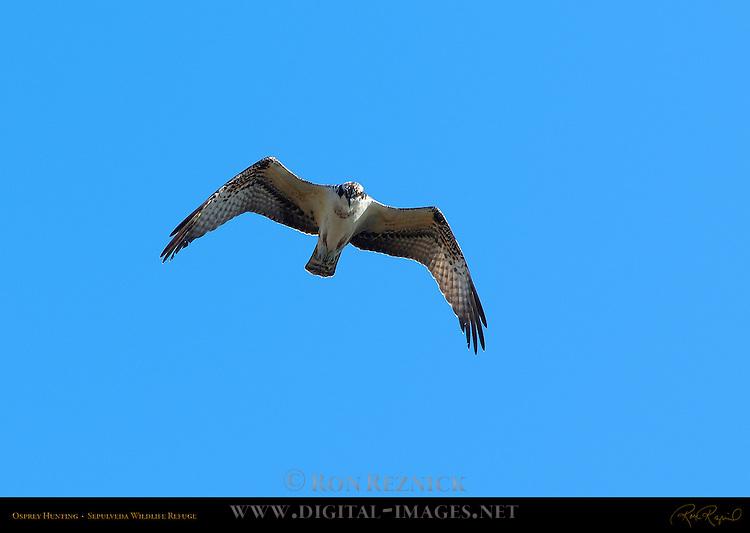 Osprey Hunting, Sepulveda Wildlife Refuge, Southern California