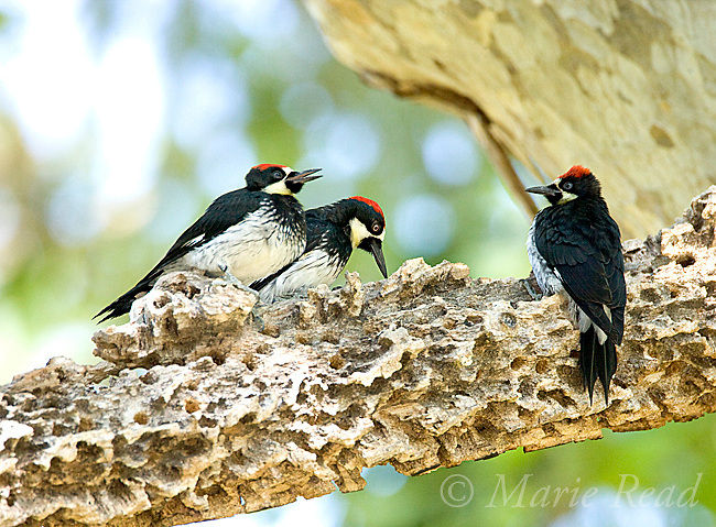 Acorn Woodpeckers (Melanerpes formicivorus), two young males (age ID by eye color) flank an adult male, Santa Barbara County, California, USA
