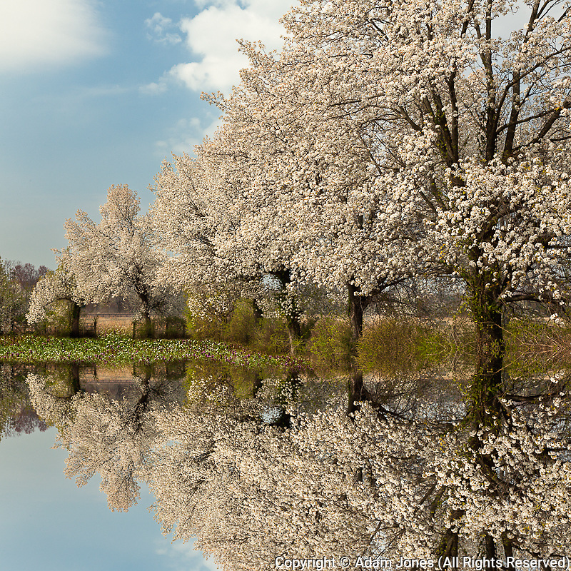 Reflection of Crabapple trees in full bloom, Louisville, Kentucky