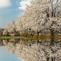 Reflection of Crabapple trees in full bloom, Louisville, Kentucky