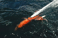 Humbolt Squid