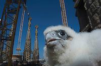 Peregrine Falcon, Barcelona, Spain