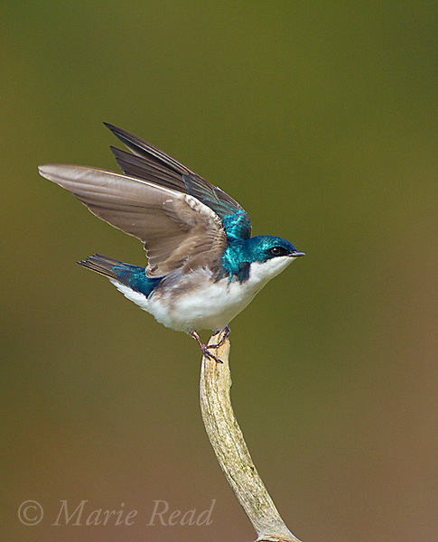 Tree Swallow (Tachycineta bicolor), about to take flight from perch, New York, USA